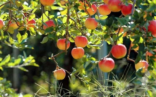 سهم ۱۲ درصدی کوار در تولید محصولات باغی فارس